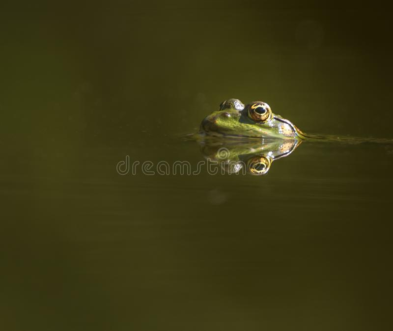 Frog eyes reflection. Eyes of a frog swimming in the pond royalty free stock photos
