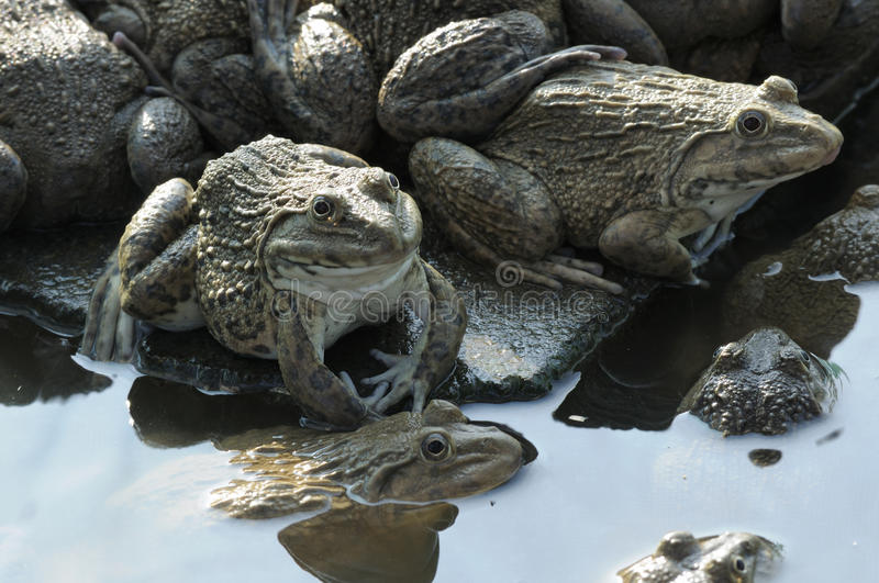 Frog farming of agriculturist in Thailand