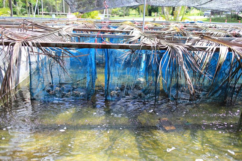 Frog Farming in Thailand. The image of the frog farming in Thailand, Older tadpoles go from incubator to holding pond in frog farming. During their 4 to 5 months royalty free stock image