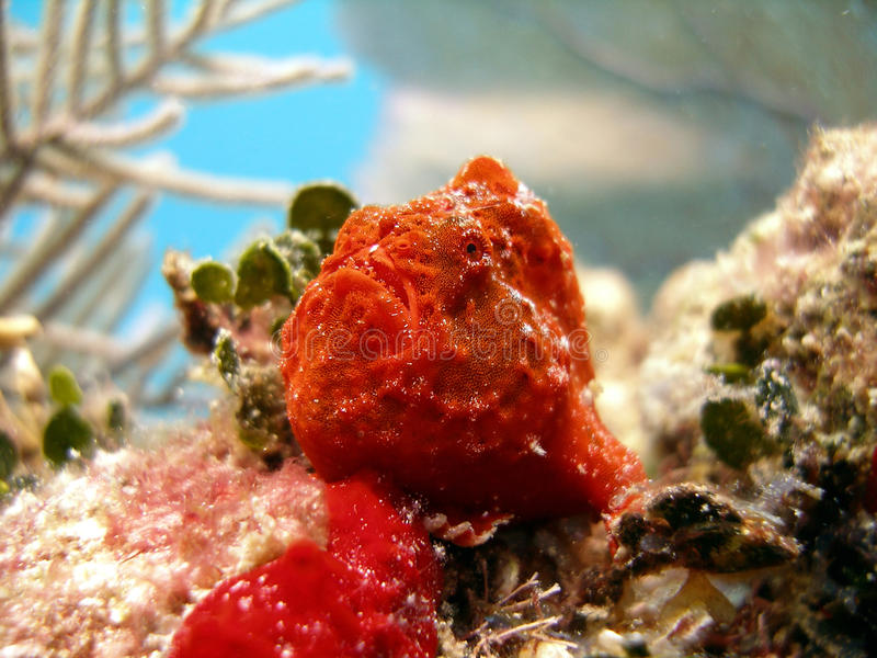 Frog Fish or Angler Fish. A bright orange Frog Fish or Angler Fish sits among the coral waiting for a meal. When hungry, it waves its lure out in front of its royalty free stock image