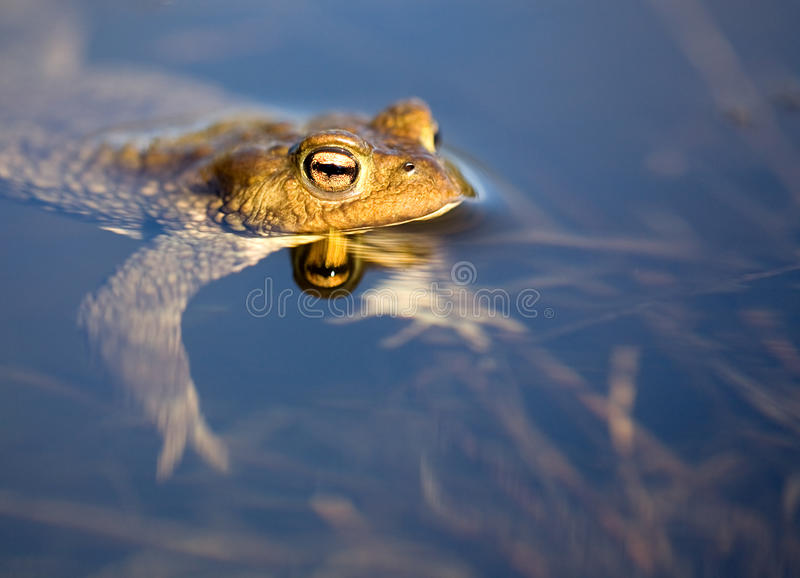Download Frog floating in pond stock image. Image of brown, aquatic - 11050287