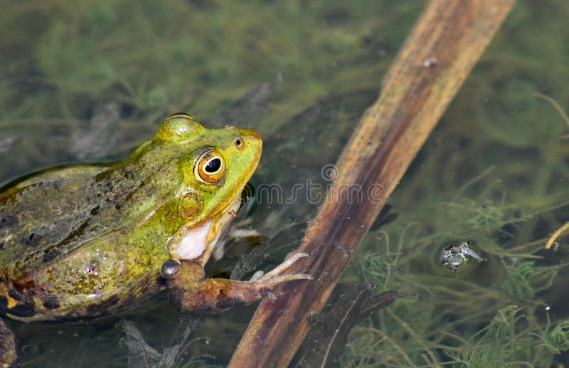 Frog. Floating in a pond stock images