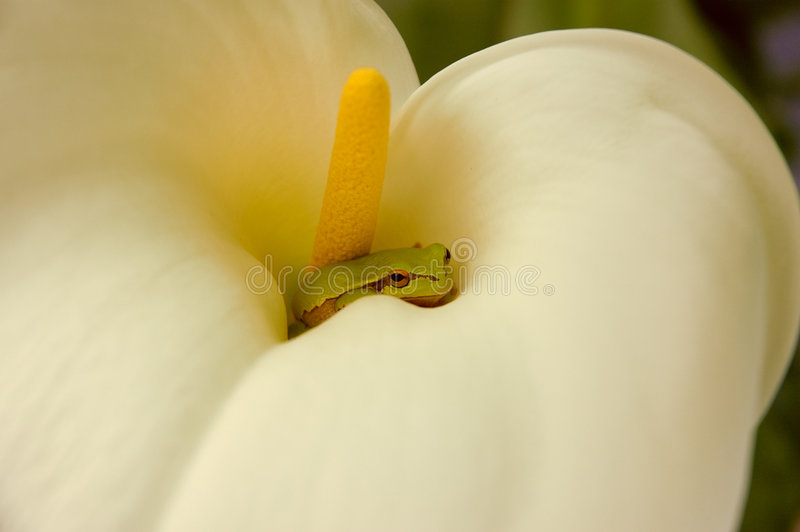 Frog in a flower royalty free stock photo