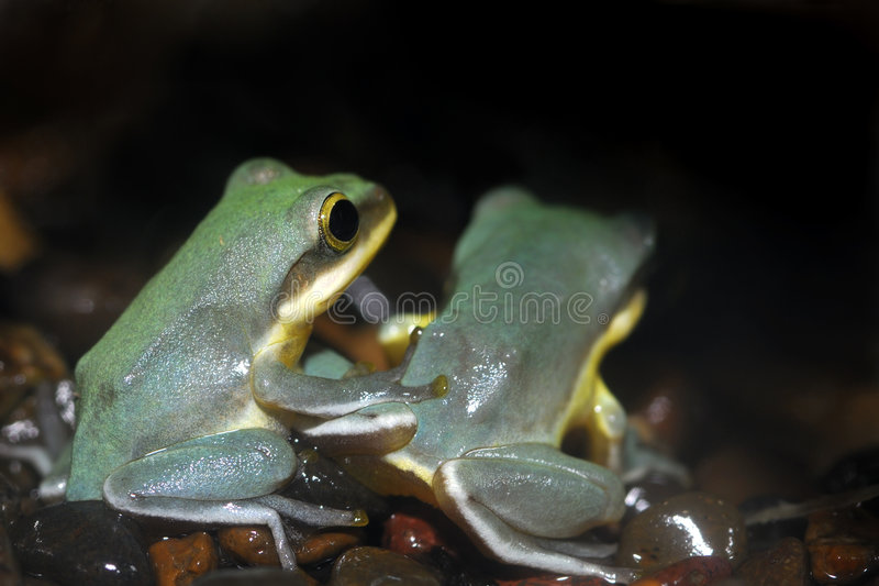 Frog Friends royalty free stock image