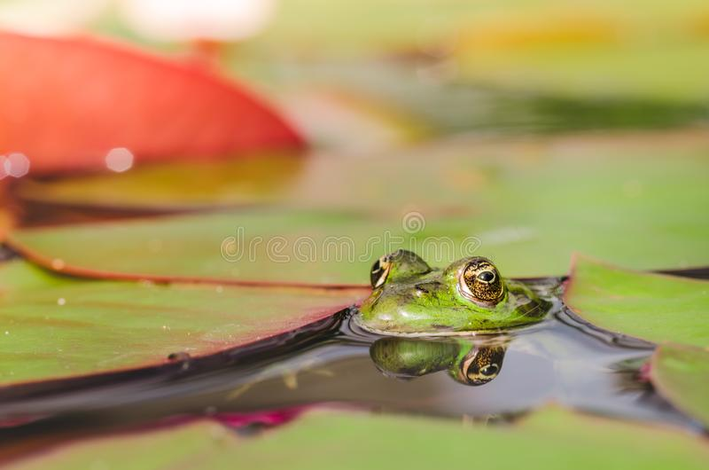 Frog. The frog looks out of water in a pond. Beautiful nature stock image