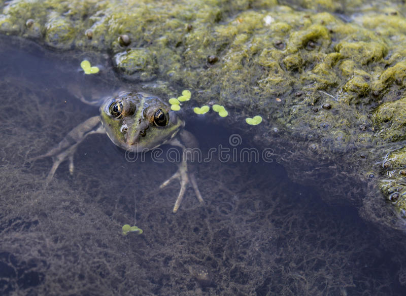 Frog. S inhabit meadows in wet woods and swamps and along the banks of quiet rivers and picturesque lakes royalty free stock photos