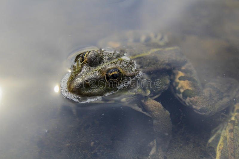Frog. S inhabit meadows in wet woods and swamps and along the banks of quiet rivers and picturesque lakes royalty free stock image