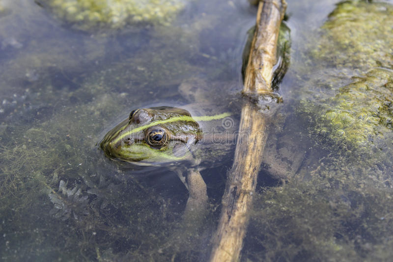 Frog. S inhabit meadows in wet woods and swamps and along the banks of quiet rivers and picturesque lakes stock photography