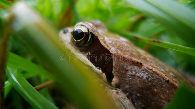 Download Frog In The Grass Stock Photo - Image: 17252560