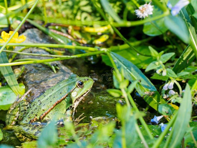 Frog. Green frog in Botanic Garden royalty free stock photo