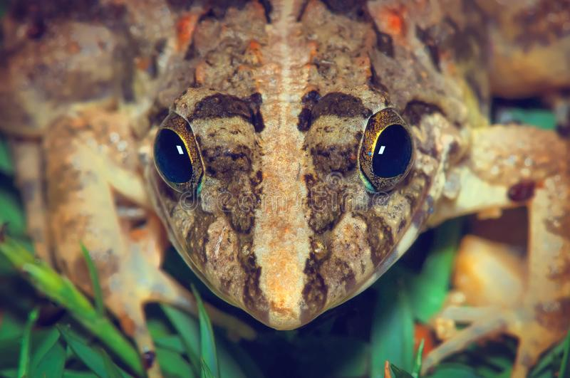 Frog on a green grass, geometric symmetrical frog head. Close up young small brown frog head details. Common frog is found throughout much of Europe as far stock image