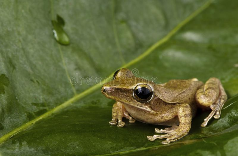 Frog on green leaf. stock photos