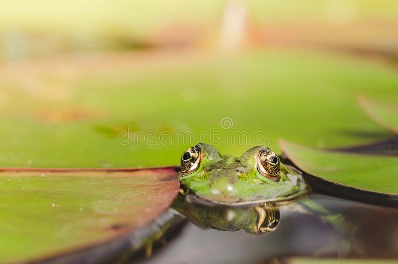 Frog. Green frog looks out of lily leaves. Frog portrait in water stock images
