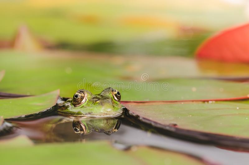 Frog. Green frog looks out of lily leaves. Frog portrait in water. Frog. Green frog looks out of lily leaves.  Frog portrait in water stock photo