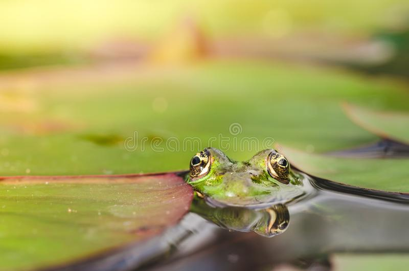 Frog. Green frog looks out of lily leaves. Frog portrait in water. Frog. Green frog looks out of lily leaves.  Frog portrait in water royalty free stock images