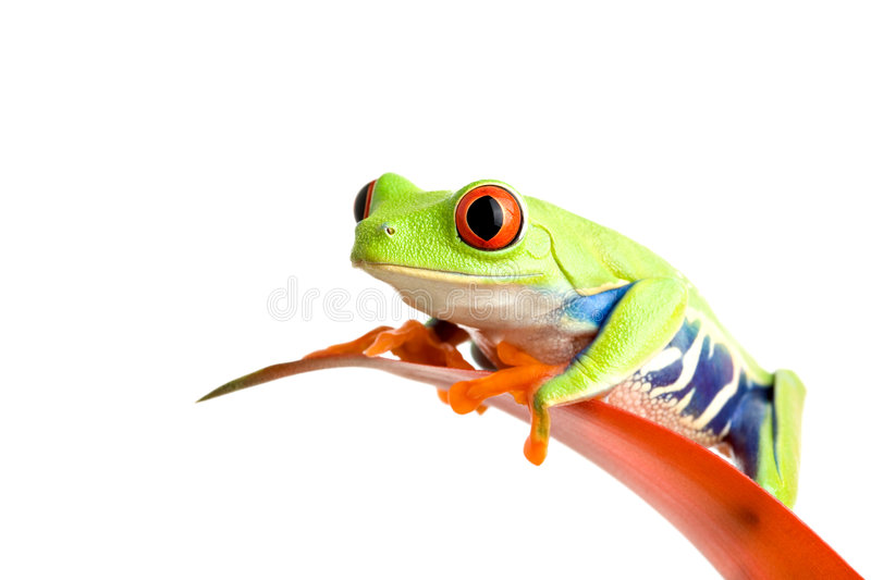 Frog on guzmania. Frog on a leaf isolated on white, a red-eyed tree frog (Agalychnis callidryas) perched on the leaf of a guzmania, closeup royalty free stock images