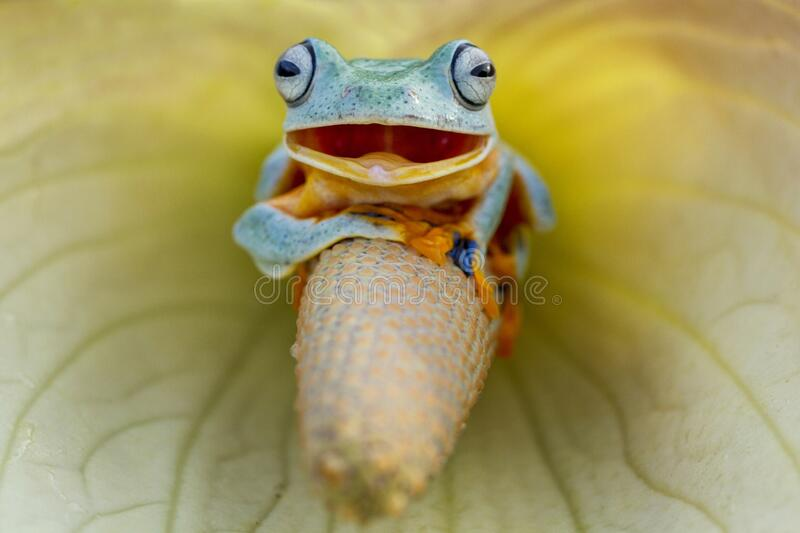 Frog happy like smile. The frog is recorded as if it were spreading a very funny smile, seeing this frog`s behavior stock images