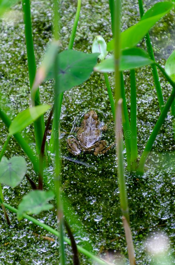Frog hidden in the pond. Surrounded by aquatic vegetation stock photo