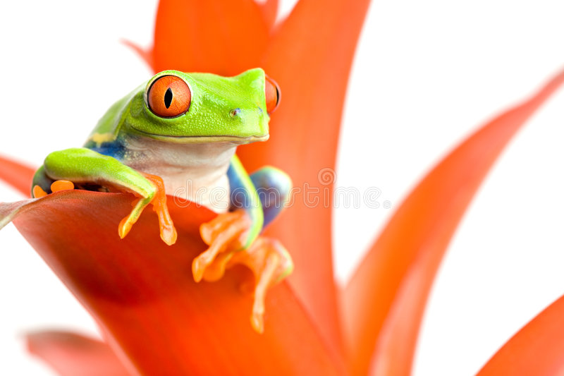 Frog on his throne. Frog perched on the leaf of a guzmania, a red-eyed tree frog (Agalychnis callidryas) closeup on white royalty free stock photography