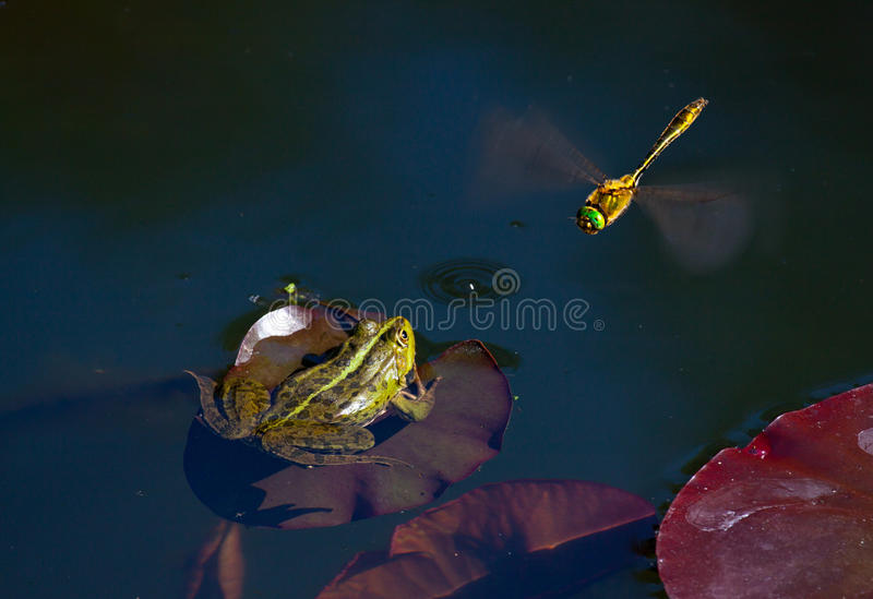 Frog hunting for dragonfly. Wildlife nature photography royalty free stock image