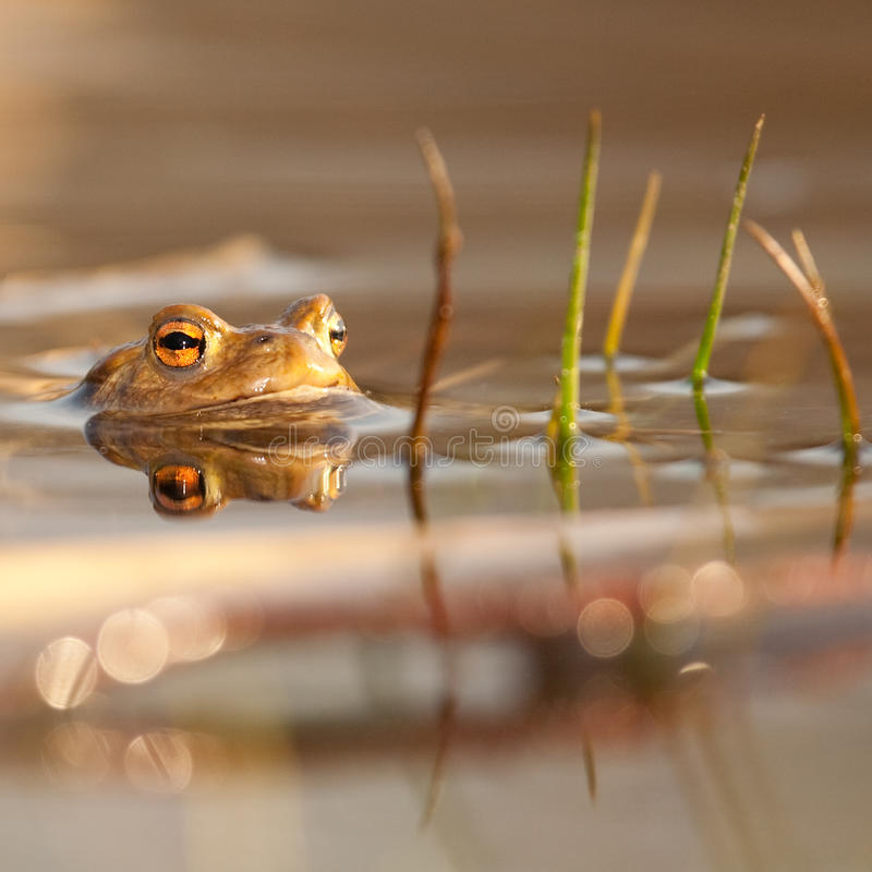 Frog. I love the frogs in the spring royalty free stock image