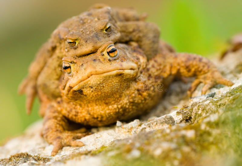 Frog. I love the frogs in the spring stock image