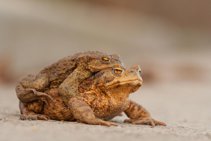 Frog. I love the frogs in the spring royalty free stock photos
