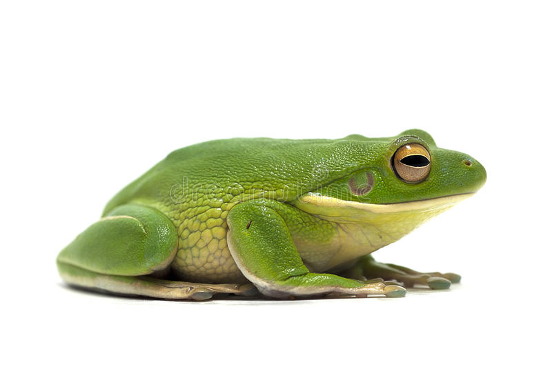 Frog isolated on white. Amphibian frog isolated on white royalty free stock photography