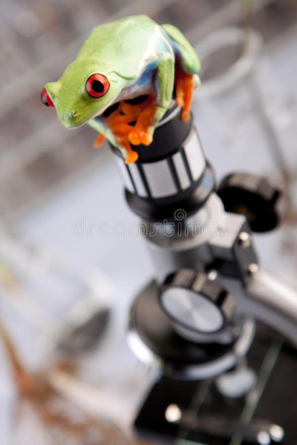 Frog in lab royalty free stock photo
