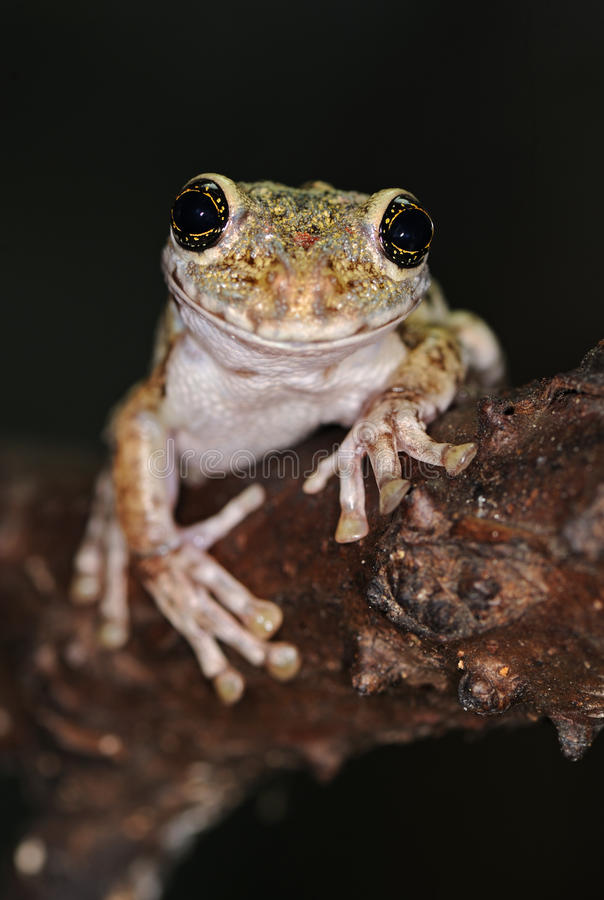 Frog with large eyes. Tree frog amphibian treefrog rainforest branch exotic tropical rain forest species of Bolivian amazon jungle night animal isolated on black stock images