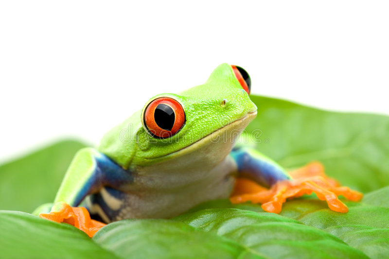 Frog on a leaf. Red-eyed tree frog (Agalychnis callidryas) sitting on a leaf, close up isolated on white royalty free stock photography