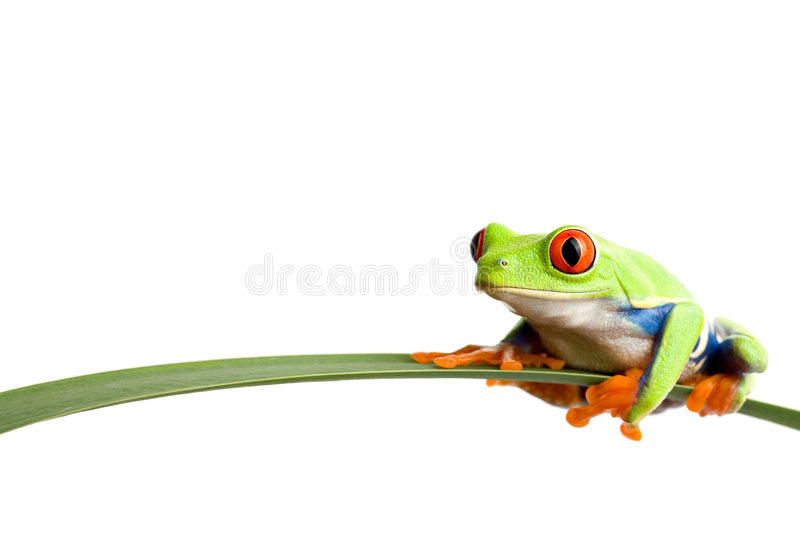 Frog on a leaf. A red-eyed tree frog (agalychnis callidryas) closeup, sitting on a long leaf, isolated on white with ample copyspace royalty free stock photography