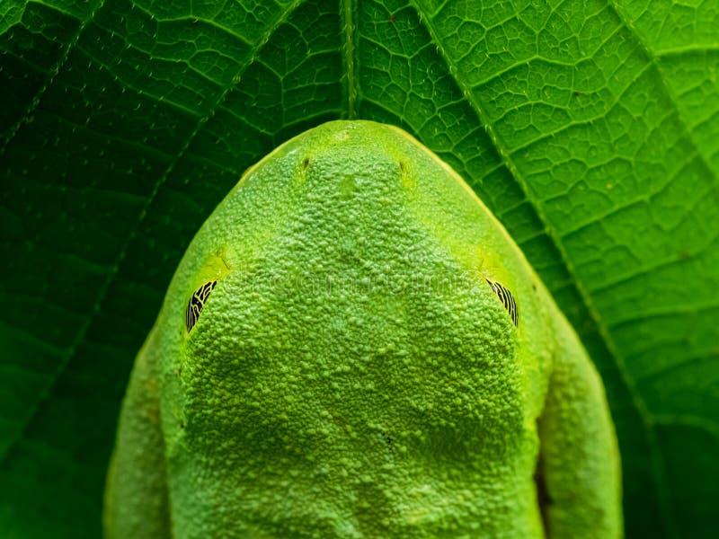 Frog_on_leaf στοκ φωτογραφία με δικαίωμα ελεύθερης χρήσης