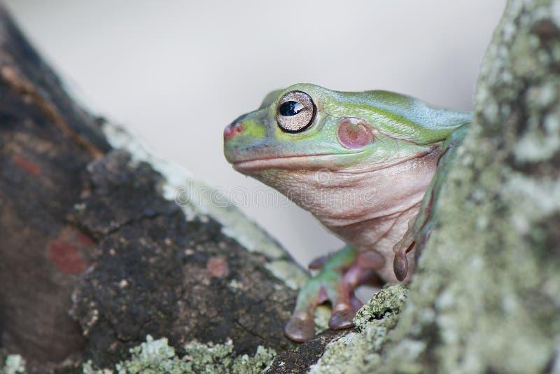 Frog side view on tree. Frog leaf animal fauna sunlight dumpy papua indonesia amphibian simple green eye smallworld stock photography