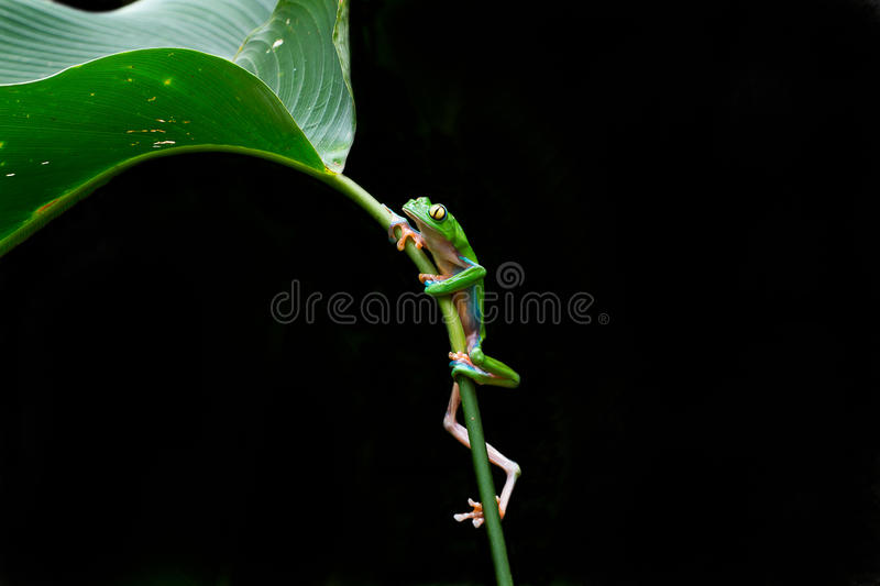 Frog on a leaf royalty free stock photos