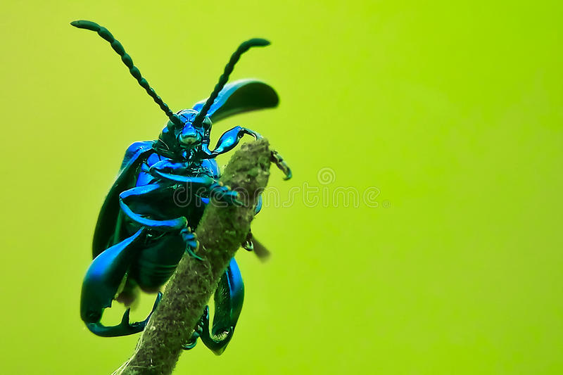 frog-legged leaf beetle stock photos