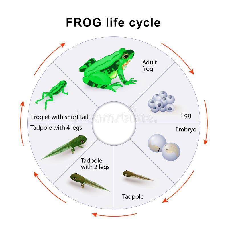 Frog life cycle. Amphibian Metamorphosis. Vector diagram stock illustration