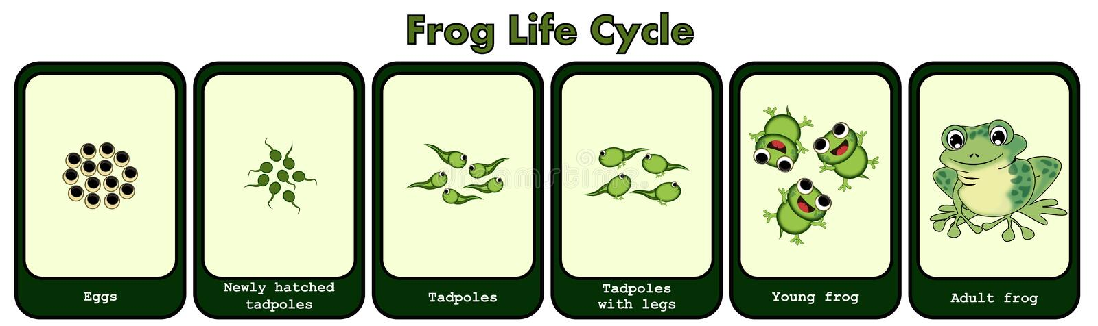 Frog Life Cycle Concept. Frog life cycle isolated illustrations concept. Description of life cycle from eggs, tadpoles, tadpoles with legs, young frog to adult royalty free illustration