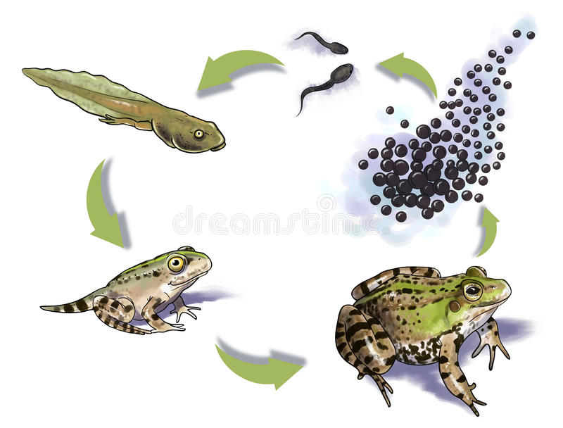 Frog life cycle. Digital illustration of a frog life cycle royalty free illustration