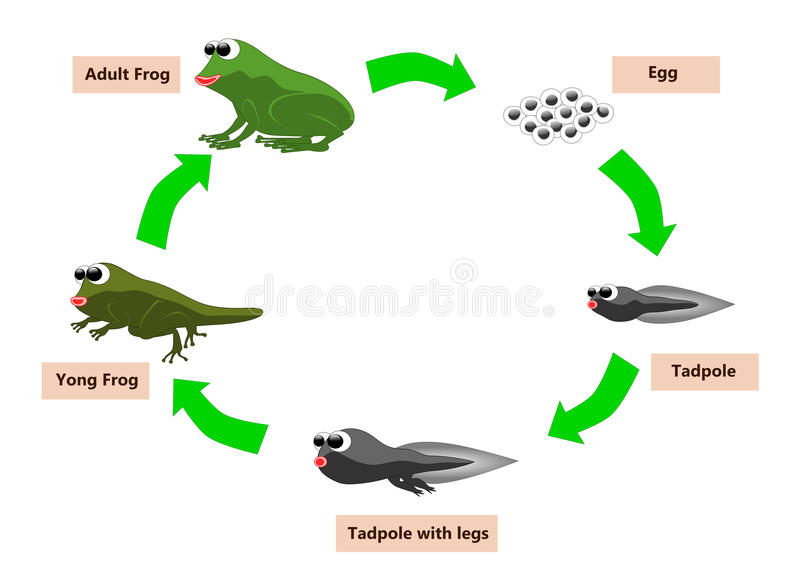 Frog life cycle. The cycle life of frog from egg to adult vector illustration