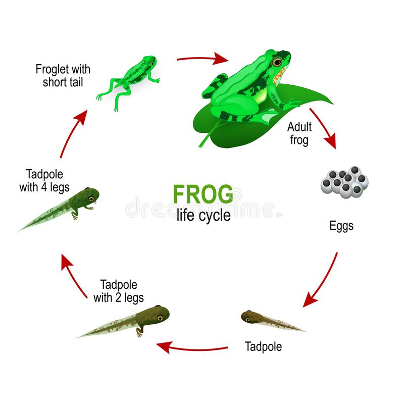 Frog life cycle from eggs and Tadpoles to Froglet with short tail and adult Amphibia stock illustration