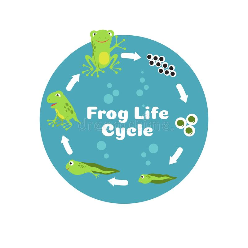 Frog life cycle. From eggs to tadpole and adult frog. Kids biology educational vector illustration royalty free illustration