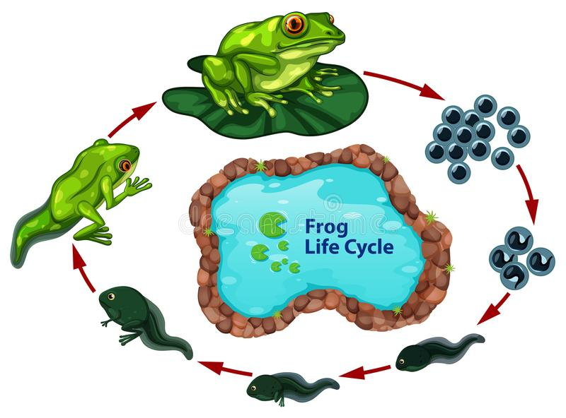 The frog life cycle. Illustration stock illustration