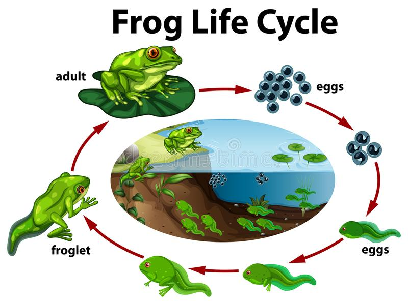A frog life cycle. Illustration royalty free illustration