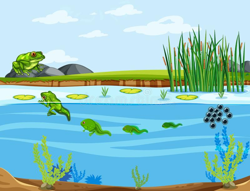 A frog life cycle. Illustration stock illustration