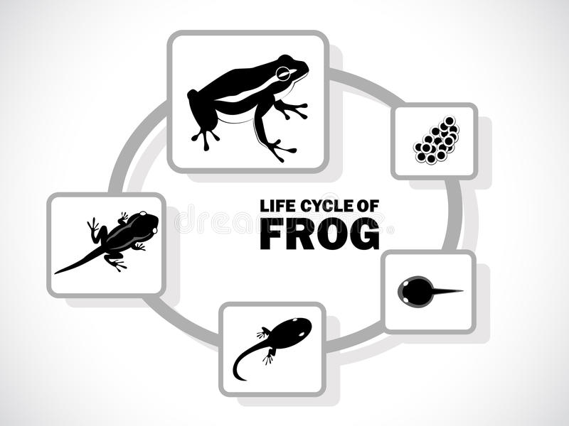 Frog life cycle. Image graphic style of frog life cycle on white background royalty free illustration