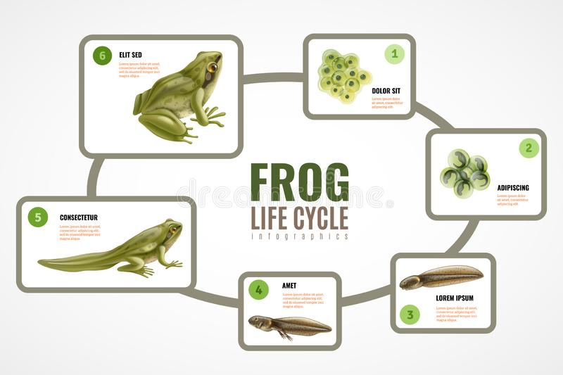 Frog Life Cycle Infographics. Frog life cycle realistic infographic chart from eggs mass embryo development tadpole to adult animal vector illustration royalty free illustration