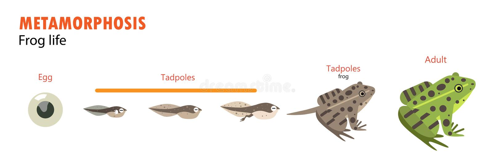 Frog life cycle metamorphosis. Illustration vector reptiles amphibians royalty free illustration