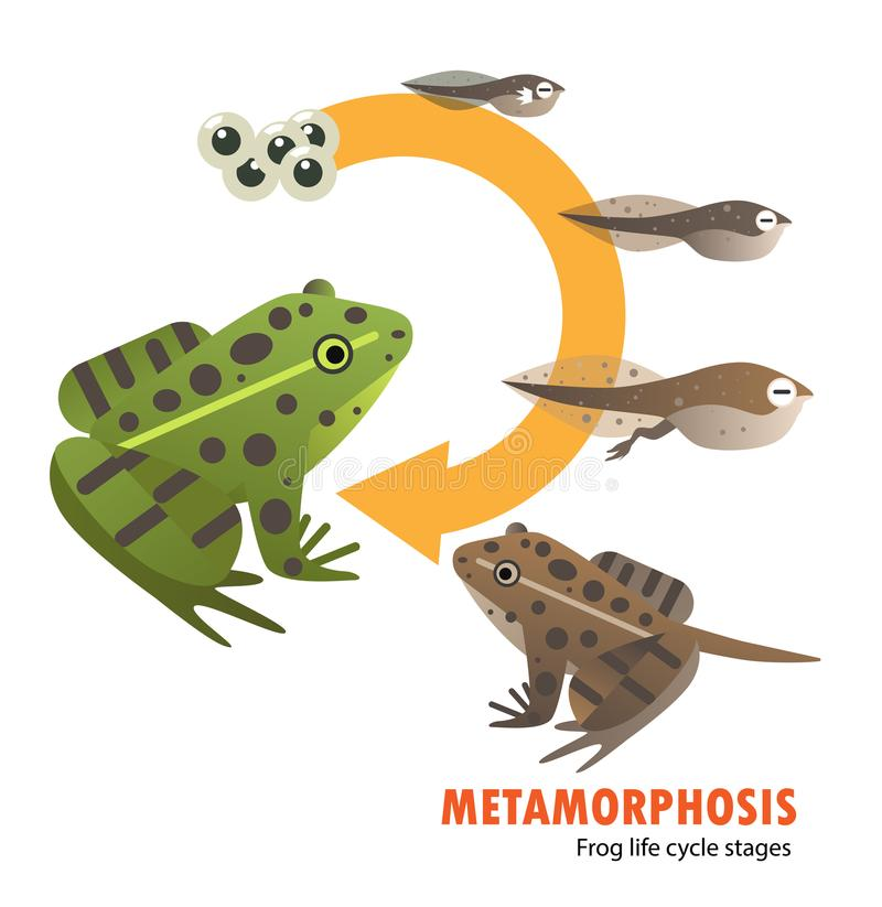 Frog life cycle metamorphosis. Vector illustration nature stock illustration