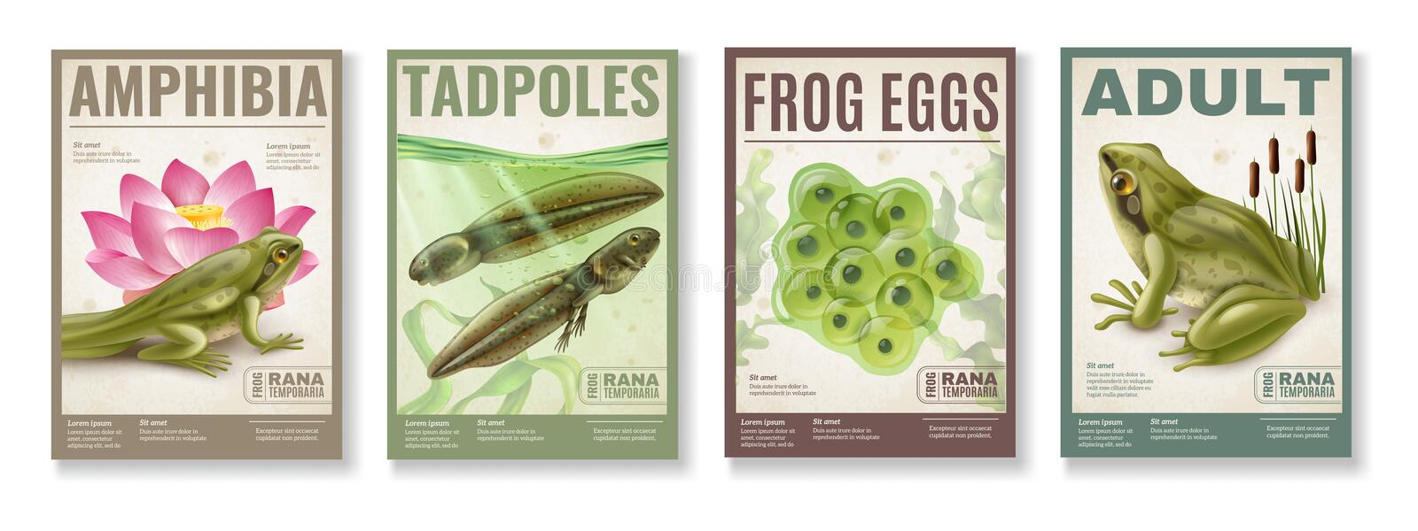 Frog Life Cycle Posters Set. Frog life cycle from fertilized eggs jelly tadpoles to adult amphibia 4 realistic posters set vector illustration vector illustration